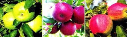 Человек часть природы Связь человека с природой  Рис 173 Сорта яблок выращенных человеком