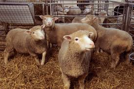 20 Years after Dolly the Sheep Led the Way—Where Is Cloning Now? -  Scientific American
