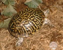 Is My Box Turtle Male Or Female Tips On How To Tell The Sex