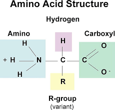 Difference Between Nucleic Acid And Amino Acid Definition