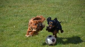 Bildresultat för hundar som idrottar