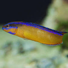 Dottyback Compatibility Chart Neon Dottyback Pseudochromis Aldabraensis