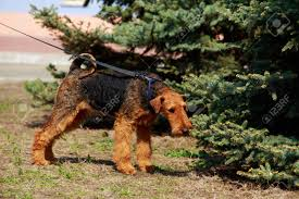 Dog Breed Lakeland Terrier Near The ...