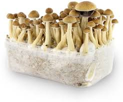 Image result for Psilocybe cubensis