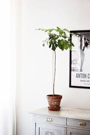Decorative Indoor Trees 17 Best Ideas About Indoor Fig Trees On Pinterest Fiddle Leaf