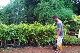 Hasil gambar untuk pohon melati belanda