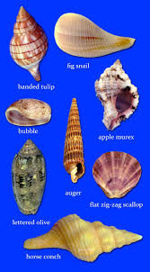 881 best Seashells images on Pinterest | Nature, Shells and Conch ...