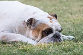 What Is The Ideal Weight For An English Bulldog And Why It