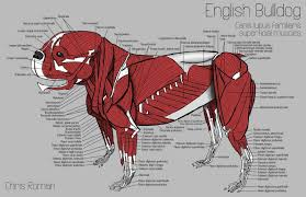 Canine Muscle Chart The Superficial Muscles Of The English Bulldog Dog