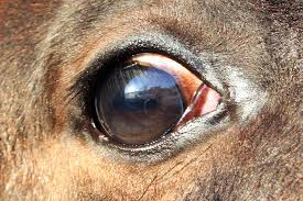 cancers and tumors of the eye in horses