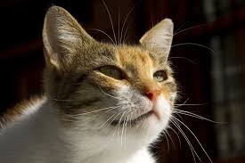Thyroid Medicine Allergy in Cats - Symptoms, Causes, Diagnosis ...