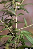 mugwort: Artemisia vulgaris (Asterales: Asteraceae): Invasive Plant ...