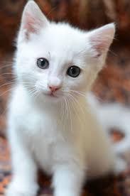 Image result for white cat