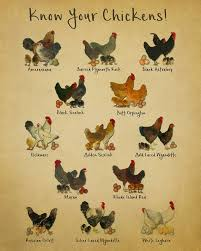 Top 10 Most Popular Chicken Breeds For Beginners To Start