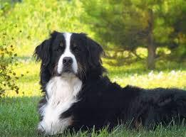 white bernese mountain dog. Simple Mountain Bernese Mountain Dog Black And White And White G