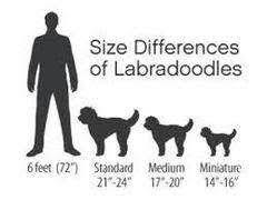 D Dog Size Chart N More Miniature Australian