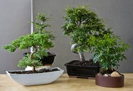 bonsai trees are easier to care for than you might think