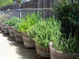 barrel garden. Growing Herbs In Wine Barrels Barrel Garden