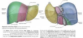 Liver Anatomy Segments
