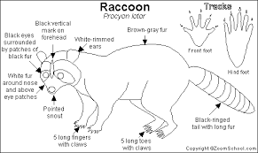 Raccoon Classification Chart Pin On Smarty Pants Tot