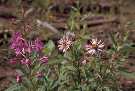 file alaska wildflowers jpg