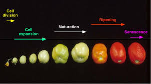 Fruit Growth Ripening Metrics Color Firmness Dry Matter