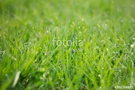 grass blade close up. Dew Drops On Young Green Grass.Grass. Fresh Spring Grass With Blade Close Up S