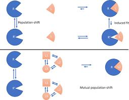 Mutual population-shift driven antibody-peptide binding elucidated ...