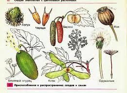 Распространение плодов и семян Гипермаркет знаний Распространение плодов и семян