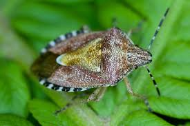 Image result for cench insect