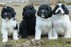 Bernedoodle Growth Chart Rocky Mountain Bernedoodles Bernedoodlebrdr On Pinterest