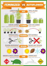 Choosing Between Autoflowering And Feminised Seeds A