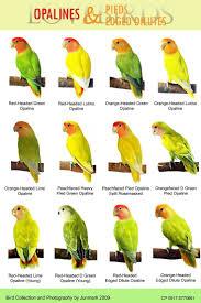 African Lovebirds Mutations Lovebirds On Pinterest Opaline