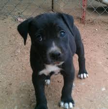 black and white pitbull boxer puppies. Wonderful Black Black And White Pitbull Puppies Posted By Soma Sekhar At 534 AM To Black And White Pitbull Boxer Puppies X