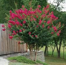 myrtle tree flowering trees plants