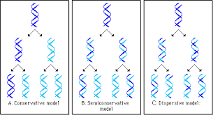 Dna Replication Definition Pearson The Biology Place