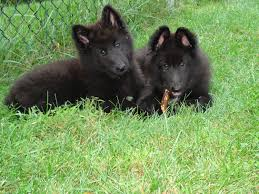 vint and brave the belgian sheepdog makes an exceptional guardian for active families