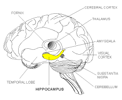 hippocampus diagram of the great depression car fuse box and wiring diagram,