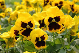 10 gorgeous yellow annual flowers