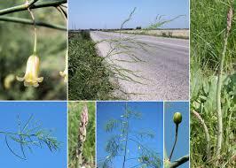 Asparagus officinalis L. subsp. officinalis - Portale sulla flora delle ...
