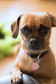 puppy dog mammal pug vertebrate sorry dog breed emotion dachshund confused worried man s best friend dog