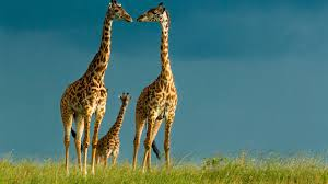 Giraffe Wallpapers HD Pictures | Live HD Wallpaper HQ Pictures .