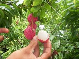 71 Best Plants I Want Images On Pinterest  Fruit Trees Grocery Hybrid Fruit Trees For Sale