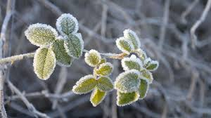 Protecting Your Fruit Trees From Frost Damage Organic
