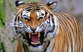 siberian tiger wallpaper desktop. Exellent Desktop Angry Tiger Tiger_89894 Wallpaper Intended Siberian Tiger Desktop