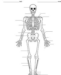 Human Skeleton Unlabeled Diagram – defenderauto.info