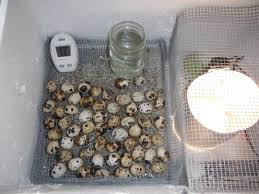 getting ready to kick off another batch of quail eggs