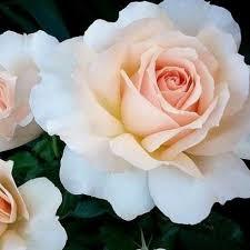 sweet love harmisty jardinerie glomot