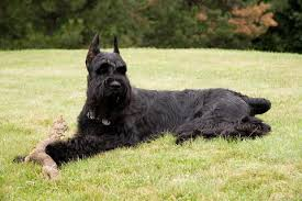 Giant Schnauzer Size Chart Giant Schnauzer Fun Facts And Crate Size Pet Crates Direct