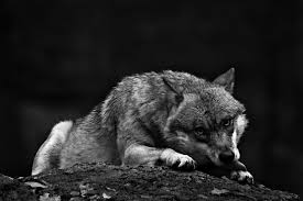 black wolf howling wallpaper. Delighful Wolf Black Wolf Howling Wallpaper Hd  Photo27 To Wolf Howling Wallpaper